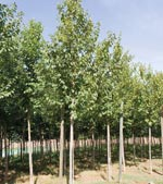 Ulmus RESISTA® 'New Horizon'
